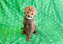 Super Cute Baby Cheetah