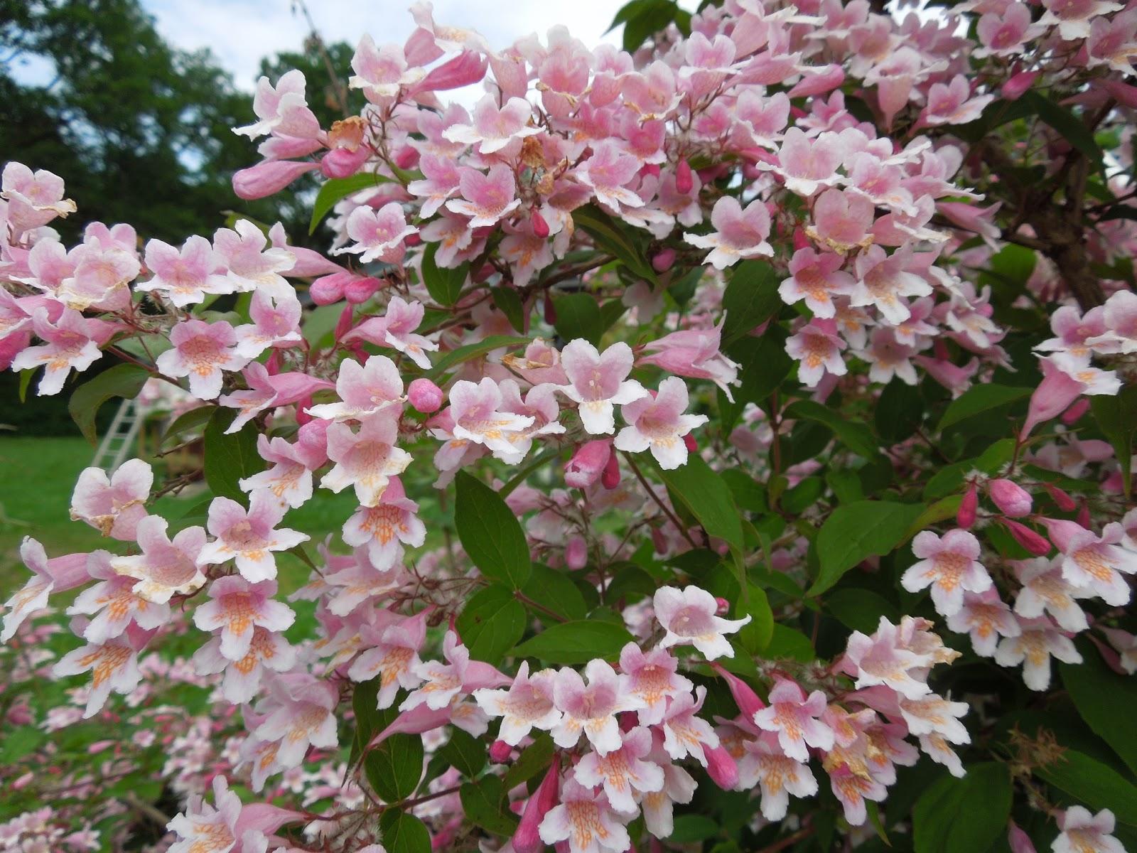 rosa blommande buskar