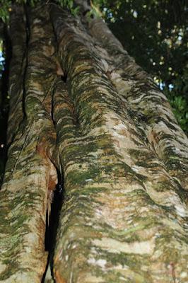 Watkin's Fig (Ficus watkinsiana)