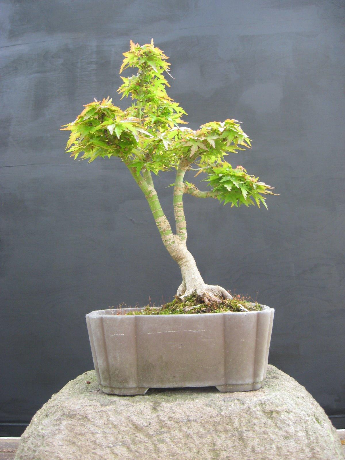 Bonsai Beginnings Kotohime Japanese Maple