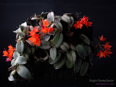 Micro-orquídea Sophronitis cernua