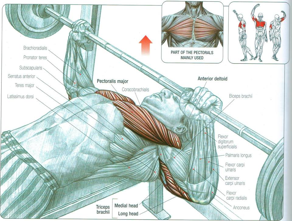Chest Press Muscles Diagram House Wiring Diagram Symbols