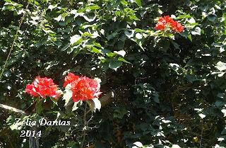 Planta trepadeira com flores Bpugainvillea