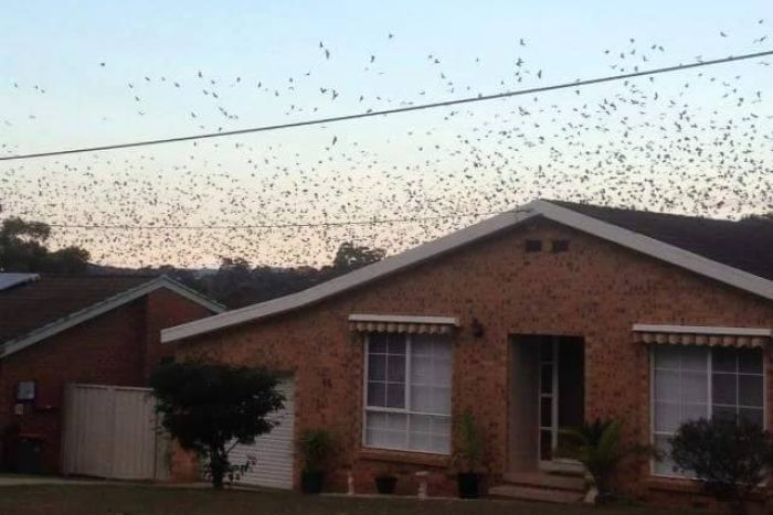 Bat(s) out of hell! 100,000 bats descended on a small Australian town in unprecedented invasion