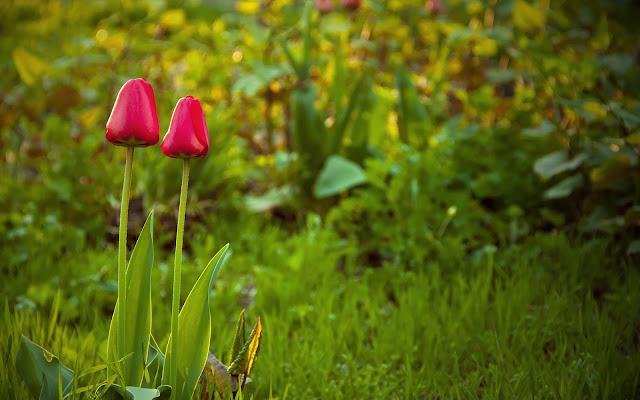 Wallpaper met tulpen en gras in de lente