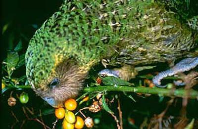 Kakapo Parrot Pictures