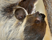 Baby TwoToed Sloth, anyone? Thanks, ZooBorns! Labels: baby sloths, sloths