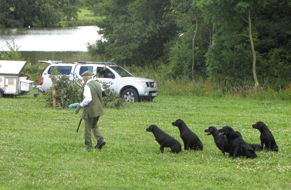 Gun dog show with labradors at the CLA Game Fair
