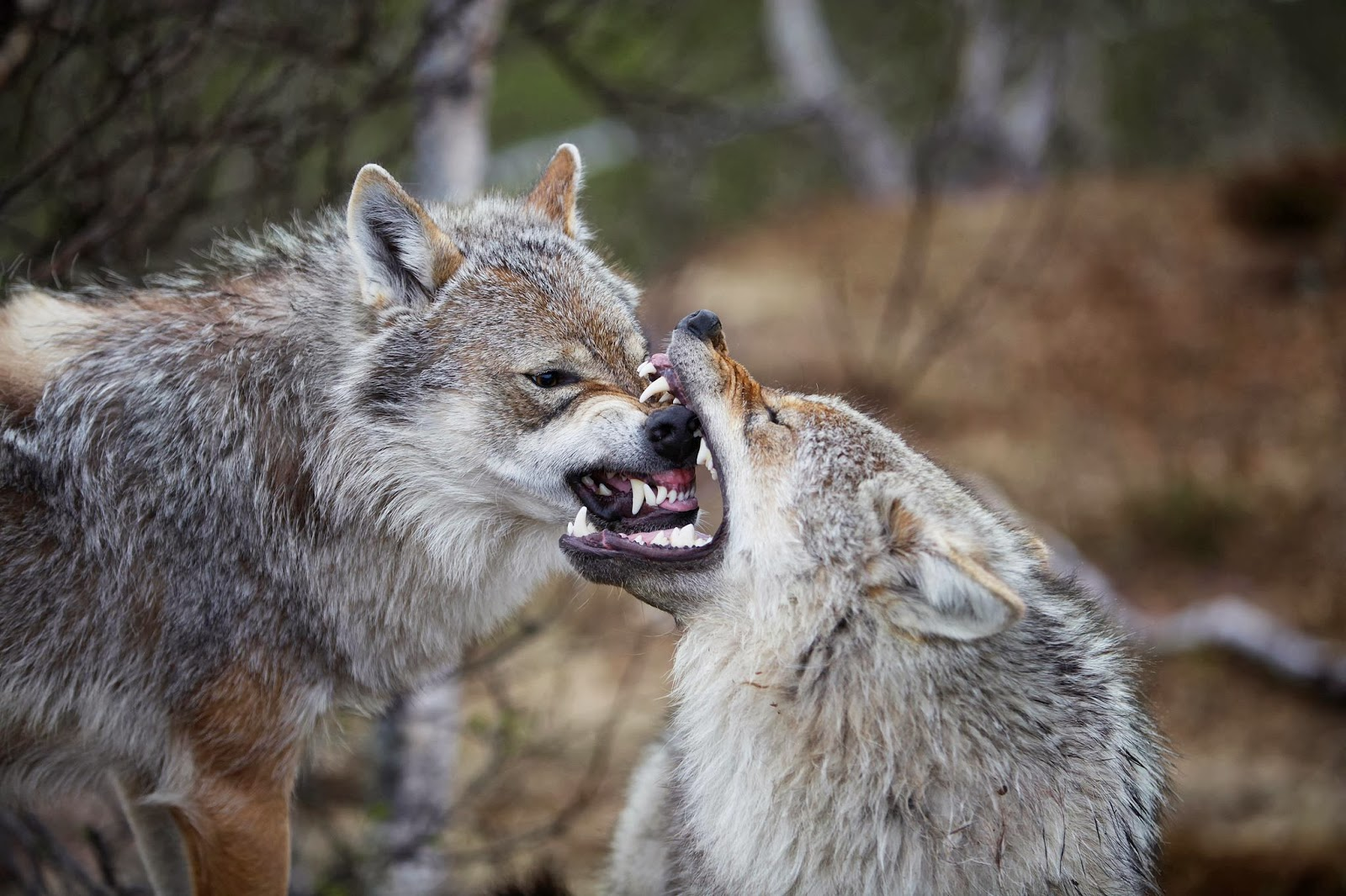 Wolves Mating With Humans The wolf gestation lasts a