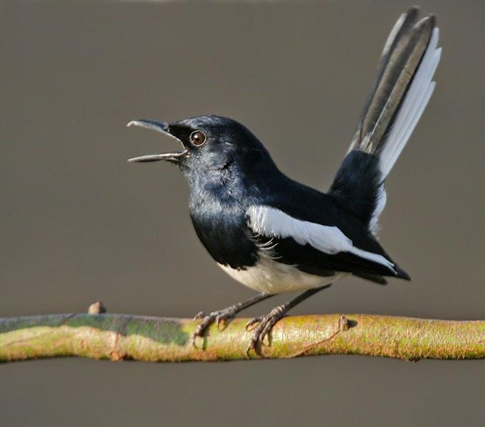 Foto Burung Kacer Skoci Jantan