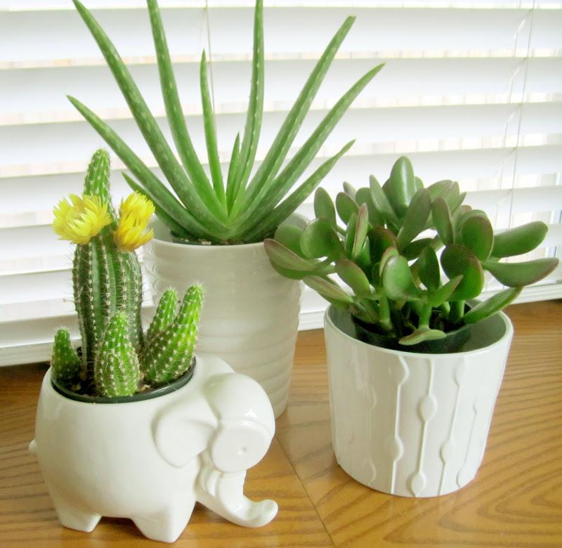 Succulent indoor plants the image kid has it - Best succulents for indoors ...