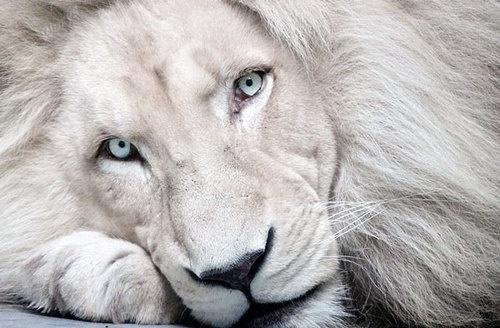 rainier lions club white lion with blue eyes