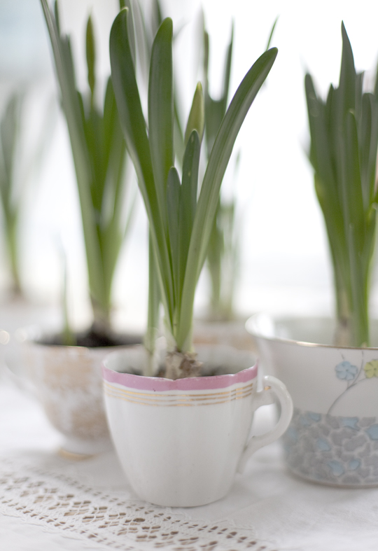 teacups with spring bulbs