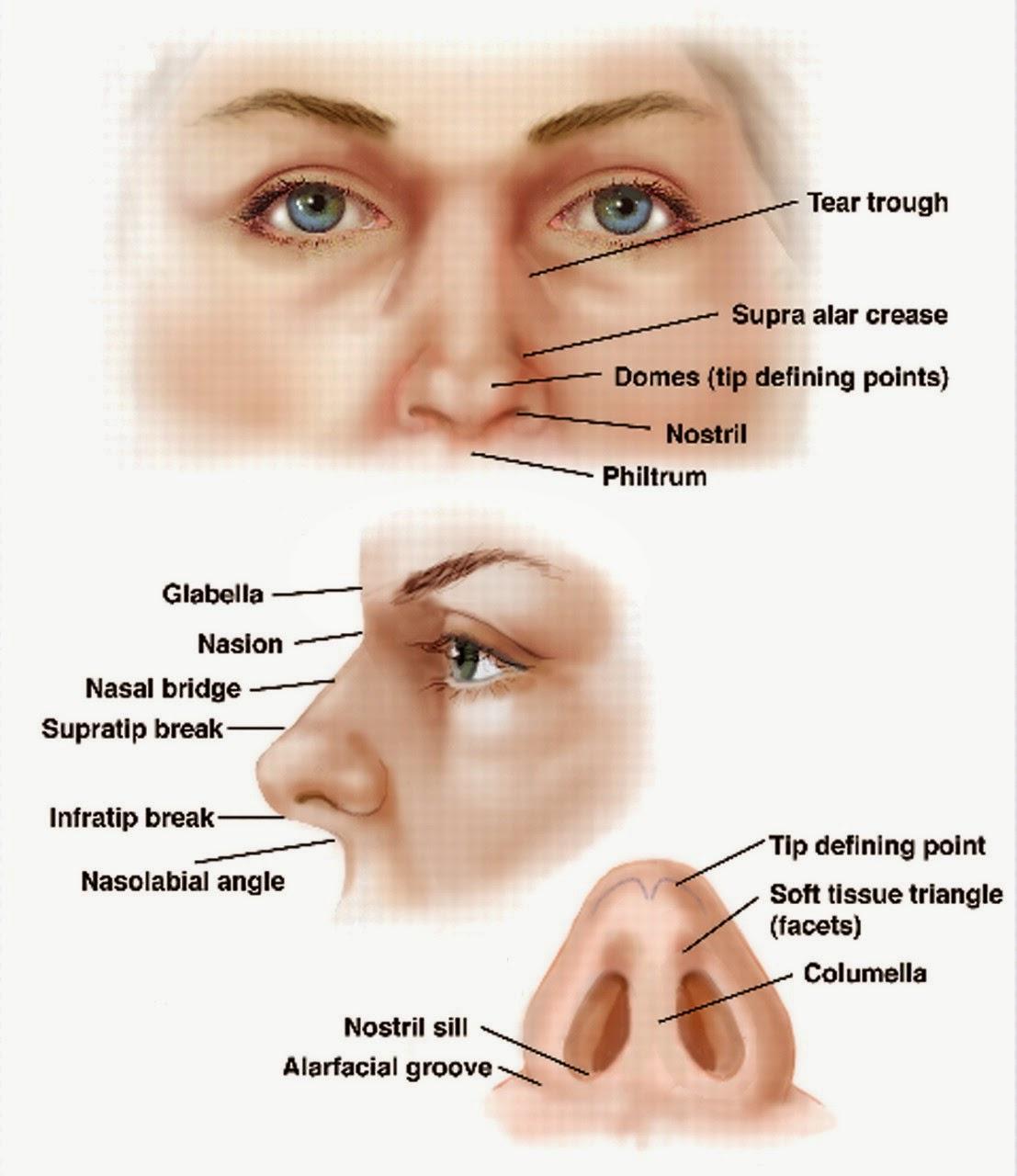 Anatomi Dan Fisiologi Hidung Dan Sinus Paranasalis Artikel Kesehatan
