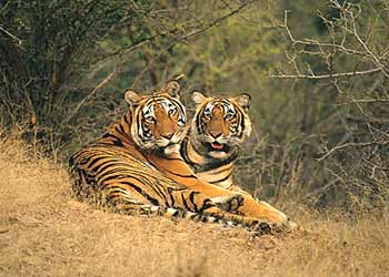 Royal Bengal Tigers - Ranthambore National Park