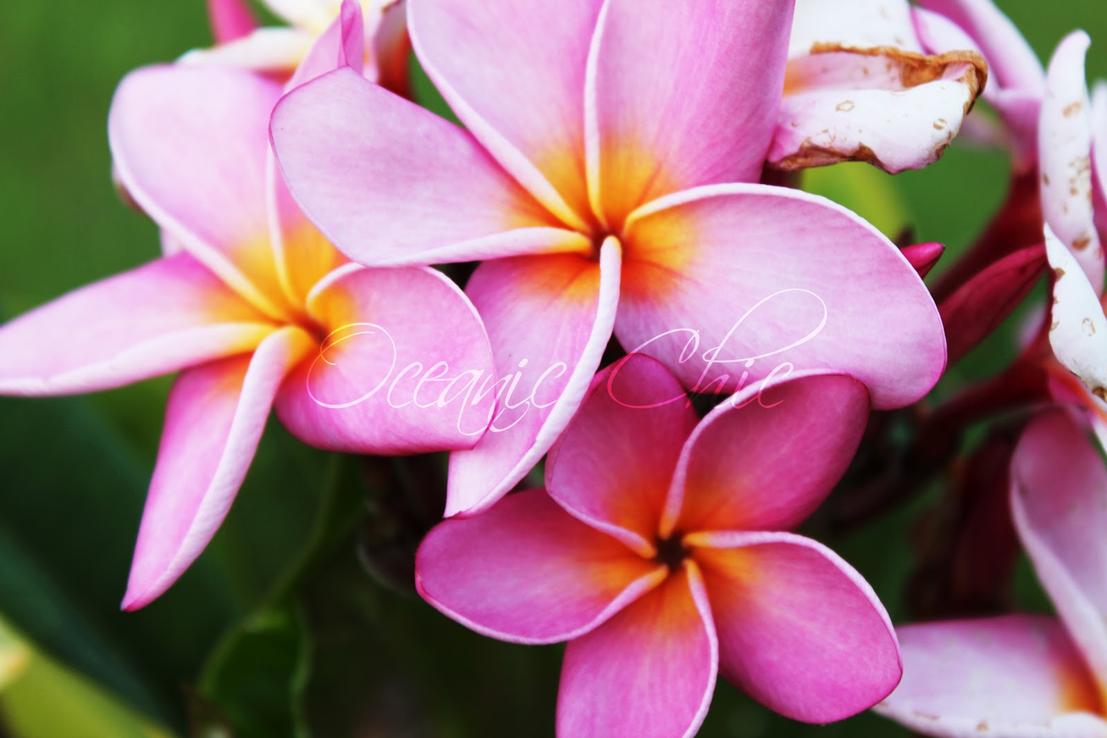 Oceanic Chic Pink Hawaiian Flowers