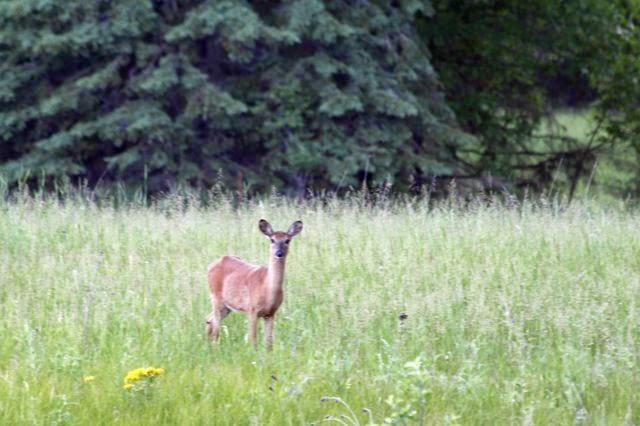 """our """"backyard"""" white tail doe"""