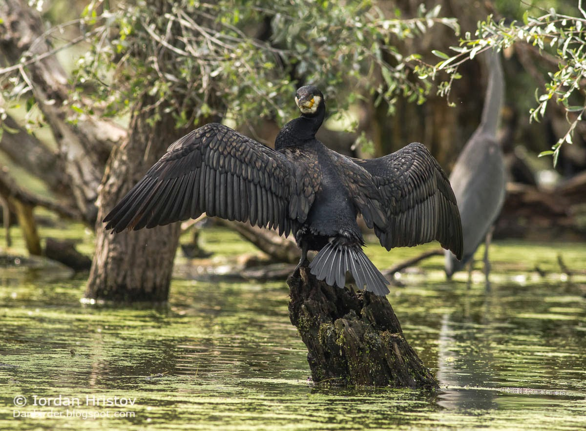 Great Cormorant, copyright Iordan Hristov