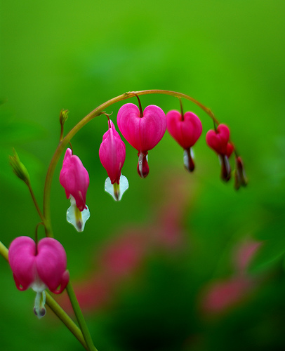 Best Photos 2 Share Blossoming Bleeding Heart Pictures