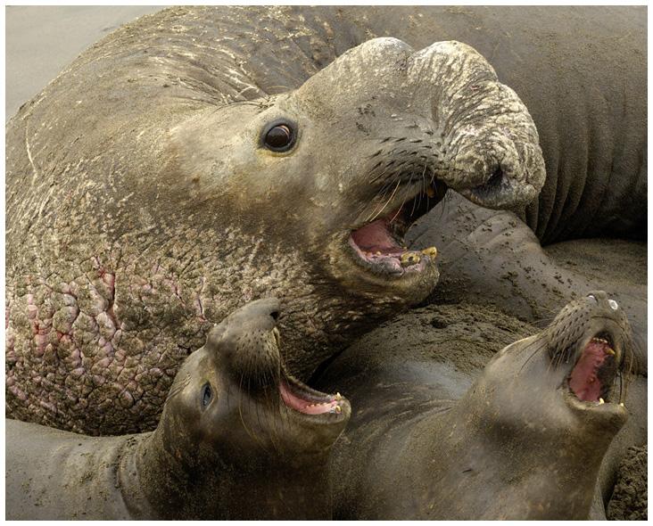 Awetya: Images Baby elephant seal pictures- baby elephants ...