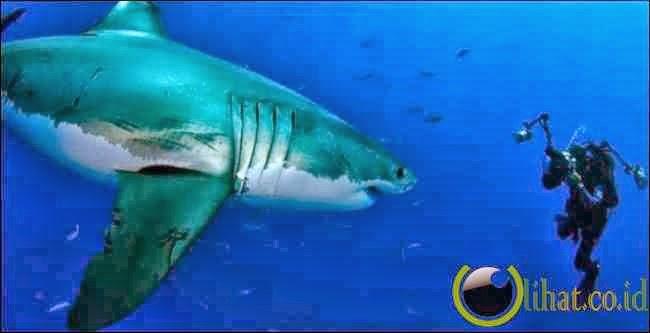 Berkawan hiu