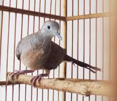 Tips Memelihara Keistimewaan Burung Perkutut Lokal Maupun Bangkok Agar Gacor Dan Rajin Manggung. | Cara Mudah Merawat Burung Perkutut - Tips Merawat Burung Perkutut Agar Gacor dan Rajin Manggung :  -Pakan ini diberikan dalam jumlah tidak terlalu banyak, kira-kira habis di makan selama sehari. Penambahan pakan sebaiknya tidak dilakukan ketutika masih ada pakan yang tersisa. Biasanya pakan yang tersisa merupakan pajan yang tidak disukai perkutut -Pemberian pakan sebenarnya bisa tiap tiga hari sekali. Jika ini dilakukan, kontrol terhadap kesegaran pakan harus sangat di perhatikan -Pada saat pemberian pakan, dicuci hingga bersih. Kebersihan wadah pakan merupakan salah satu pedukung kesehatan perkutut. Penempatan wadah pakan harus di lakukan dengan perlahan-lahan. Jangan sampai melakukan gerakan yang mengakibatkan perkutut terkejut. Gerakan yang mengejutkan akan membuat perkutut beterbangan manabrak-nabrak jeruji sangkar.   Berikut kami berikan tips memelihara keistimewaan burung perkutut lokal maupun Bangkok agar gacor dan rajin manggung. Sudah barang tentu jika anda ingin burung perkutut anda gacor, pilihlah yang berjenis kelamin jantan. Untuk menentukan jenis kelamin jantan atau betina, anda cukup membedakan sumpit kerapatan kaki kurang lebih 1 cm untuk jenis kelamin jantan, dan untuk betina sumpitnya lebih renggang. Selain itu juga jantan memiliki bentuk badan yang besar dan tegak serta ekor menyatu. Lakukan pemandian burung secara rutin dengan cara disemprot dengan spray dengan semburat yang paling halus. Alangkah baiknya bila disemprot menggunakan air beras dicampur dengan daun sirih sebanyak 7 lembar untuk menghilangkan kutu dan mengkilapkan warna bulu burung perkutut. Selanjutnya jemurlah burung perkutut pada pagi hari mulai pukul 7 – 9. Hal ini berfungsi menguatkan dan kebal terhadap panas. Memberikan jenis pakan utama perkutut seperti biji-bijian, rumput dan padi-padian. Selain itu juga bisa diberikan beras merah, milet, butiran jagung, campur makanan pabrik de