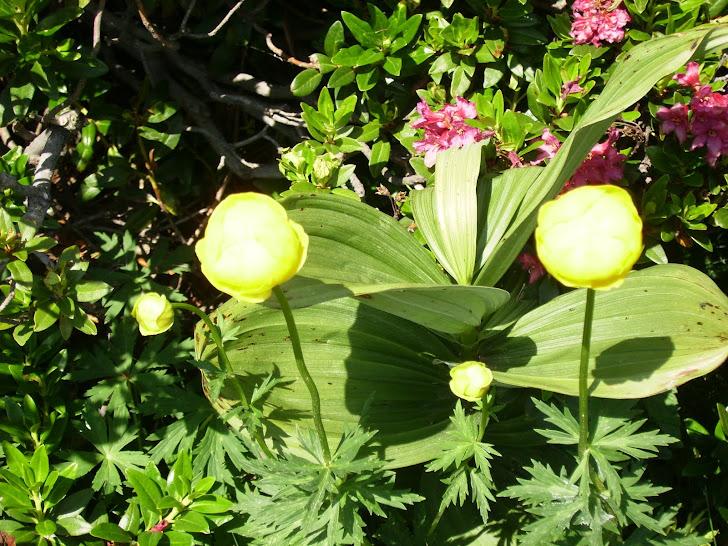 Flores del Vall de Nuria