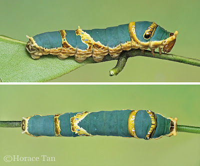 Papilio demolion, 5th instar. Credit: Horace Tan (Permission Obtained)