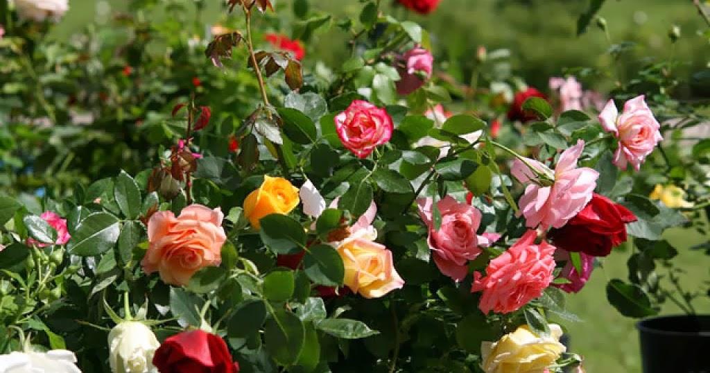 Arte y jardiner a plagas y enfermedades de los rosales for Jardineria rosales