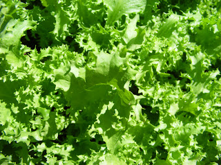 Organic Salad King Endive in my Garden by Victory Seeds