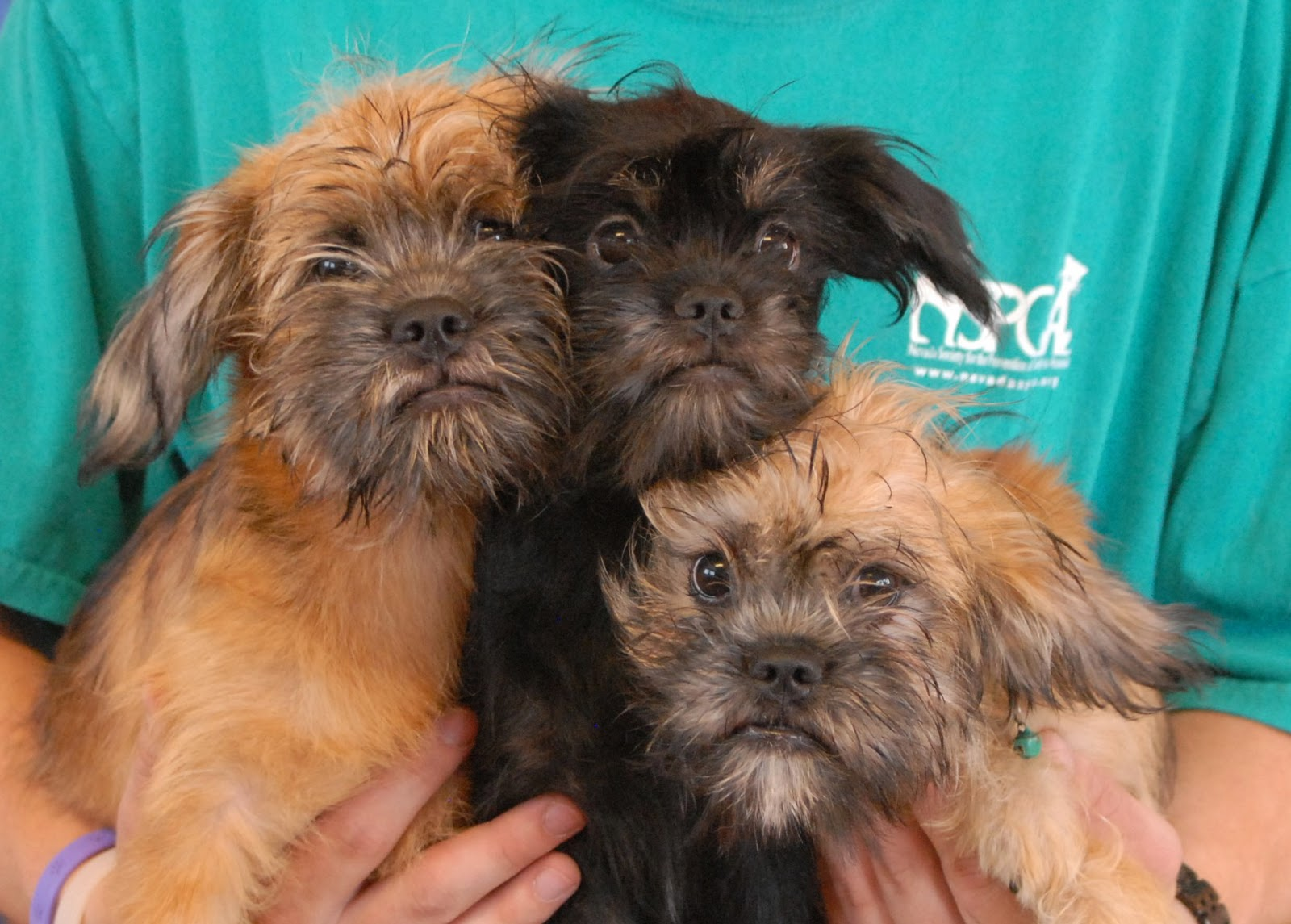 Nevada SPCA Animal Rescue: The Brussel Sprouts Puppies ... Adopt A Brussels Griffon Puppy