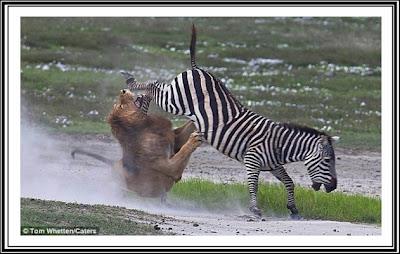 Singa VS Zebra