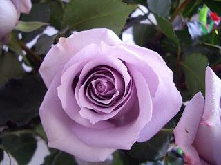 Exotic Lavender Roses