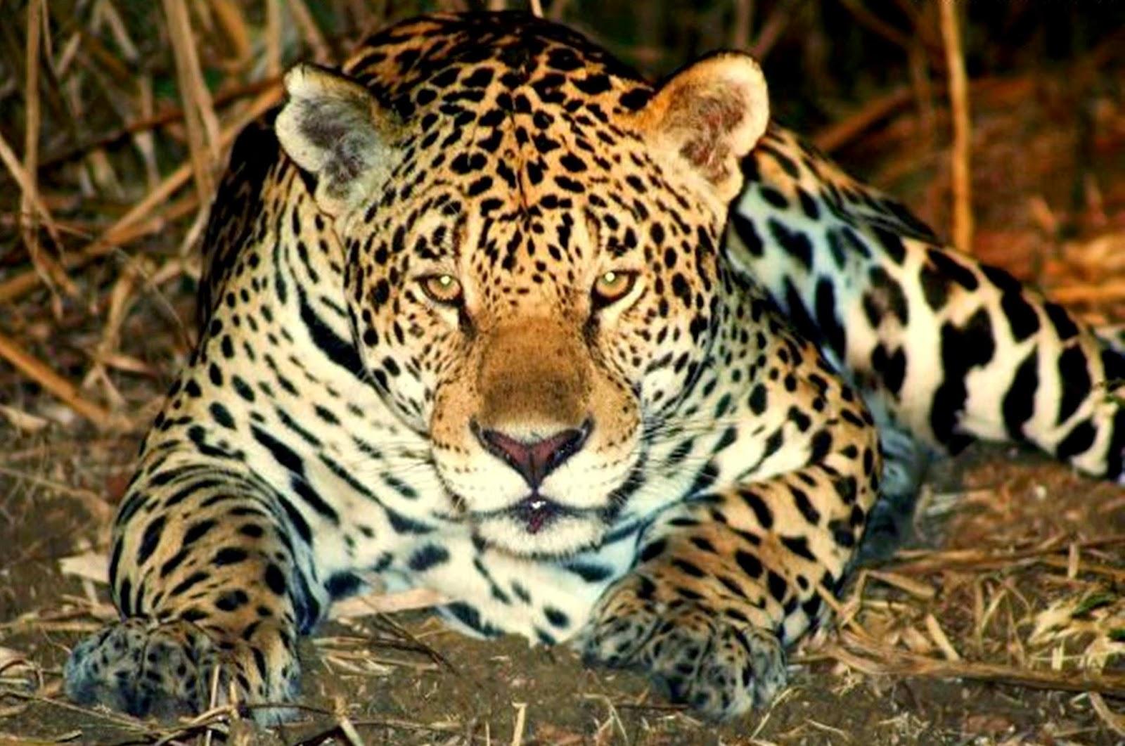 Animais em extinção no Brasil