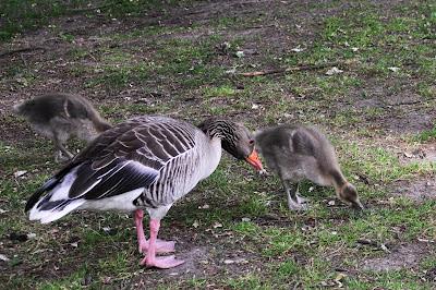 Malmö - Goose Gänse