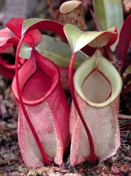 Tanaman ini merupakan tanaman asli Indonesia. Tanaman ini juga