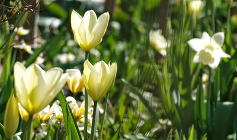 Lyse forårsbede med tulipaner og narcisser