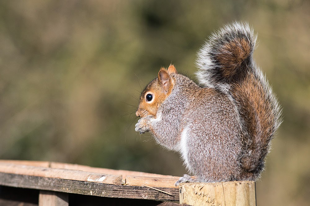 Grey Squirrel - Cosgrove