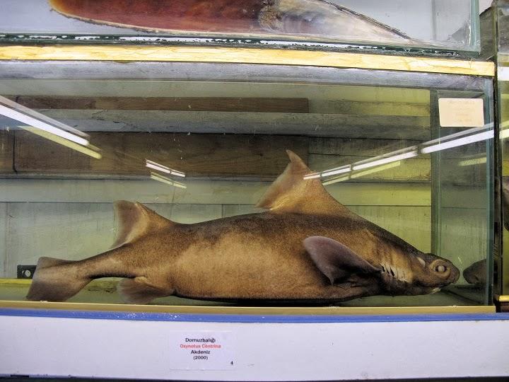 Kana susamış yırtıcı - beyaz köpekbalığı