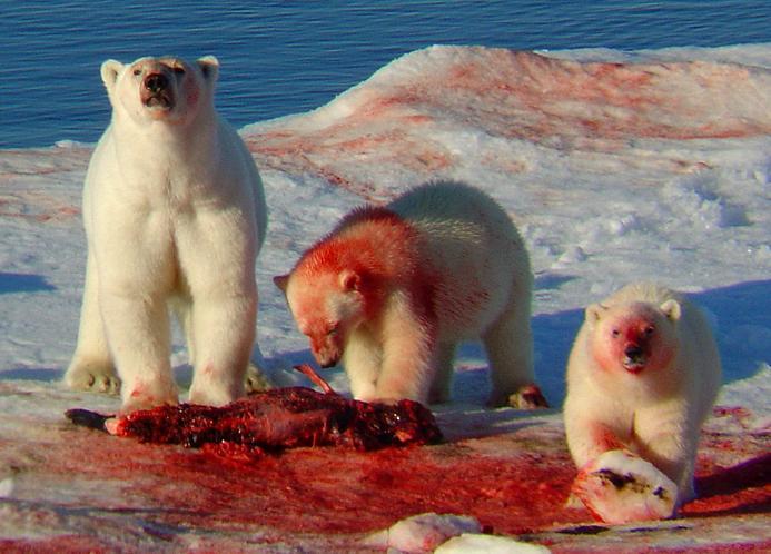 Do polar bears eat humans - photo#24