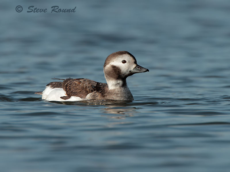 long-tailed duck, bird, nature, wildlife