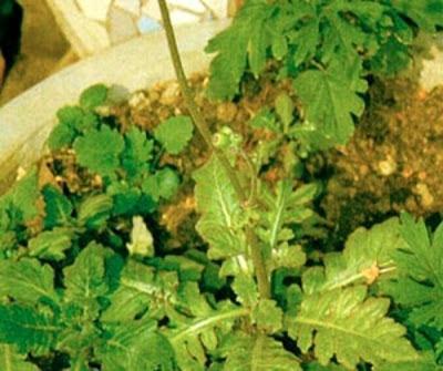 ... khasiat dan seluruh bagian tumbuhan ini dapat digunakan sebagai obat