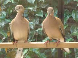 Ciri-Ciri Dan Cara Mudah Membedakan Burung Derkukur Atau Terkukur Jantan Dan Betina