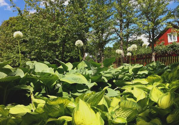 Funkiaplantering med vit allium som sticker upp