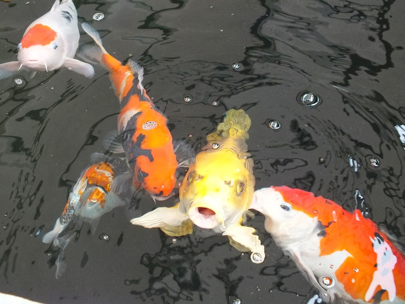 The diligent gardener october 2014 for Koi holding pool
