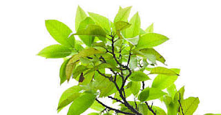 Folhas de manga para curar a gengivite