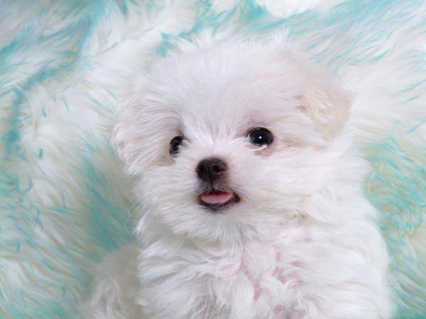 very cute white puppie dog wallpaper image