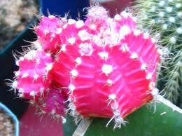 budidaya, kaktus, cara menanam, tanaman