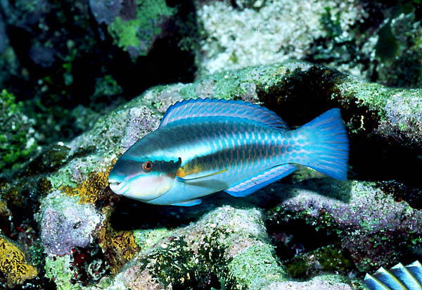 Queen parrotfish or Scarus vetula