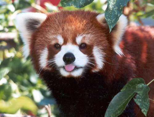 MATIN LUMINEUX: Le Panda roux